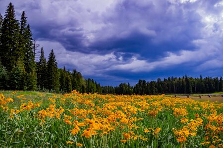 Hannagan Meadow in eastern Arizona with yellow flowers and a thunderstorm sky.