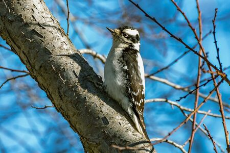 Hairy Woodpecker female perched on a plum tree branch with a blue sky background. Stockfoto