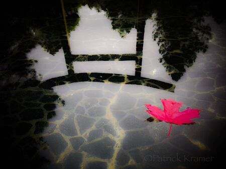 red maple leaf: red maple leaf floating on reflecting pond on a cloudy gloomy overcast fall day