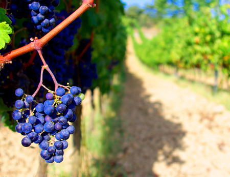 Bunch of black grapes for red wine photo