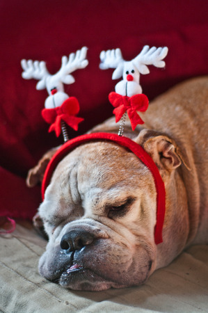 a cute bulldog decorated with reindeer asleep after Christmas dinner