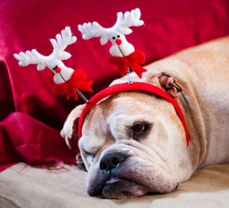 pampered: a cute bulldog decorated with reindeer asleep after Christmas dinner
