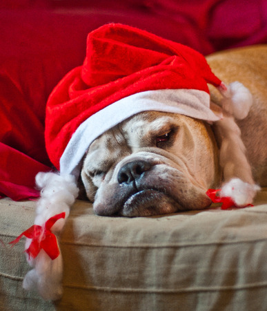 tired face: a cute bulldog decorated with reindeer asleep after Christmas dinner