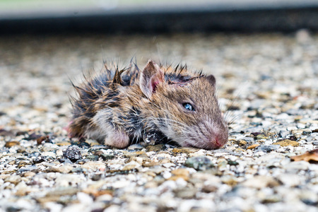 dirty little rat out from the leaves looking at you with small eyes and blacks