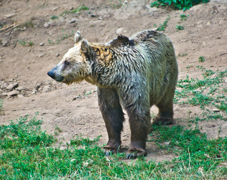 Lone brown bear strolls in the mountains looking for food
