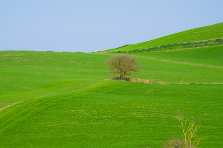 isolated tree stands out in the green fields of the countryside under the blue sky