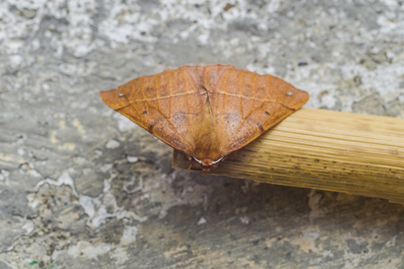 Red brown butterfly with beautiful antennae stops to rest during migration