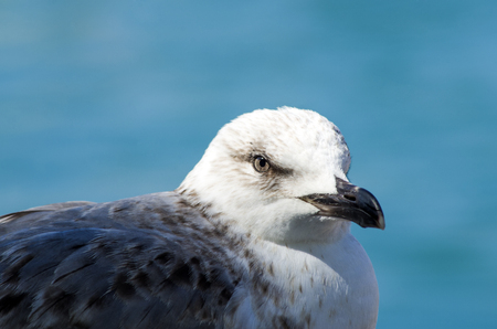 bird of the sea: gray and blue seagull facing the sea
