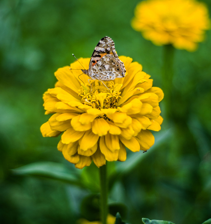 large butterflies feeds and pollinates beautiful yellow flower in the green meadow Stock Photo
