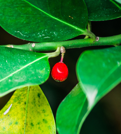 small red berry in the middle of green plants in the nature reserve Stock Photo