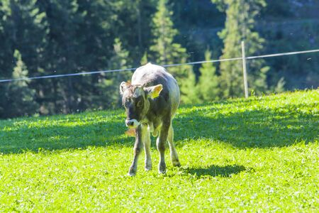 cute calf, with long ears, grazes the grass in the high mountains