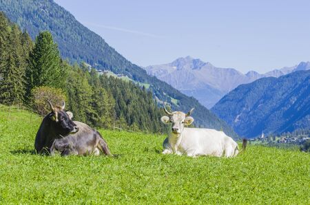 grazing cows, white, black and brown cows, graze the grass in the high mountains