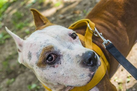 Amstaff, a beautiful guard and compaction dog