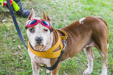 Beautiful female amstaff, fashionable with red fashion glasses and yellow bib to protect and treat sick eyes