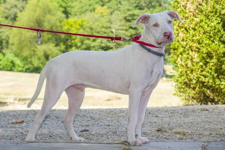 gorgeous and sweet white dog with yellow eyes and pink nose in the countryside with red collar