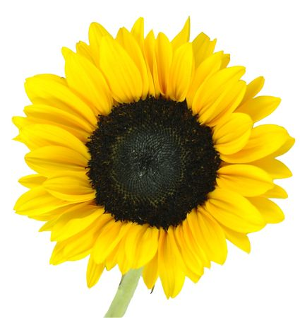 Bright Yellow Sunflower isolated on a white background Stock Photo - 575779