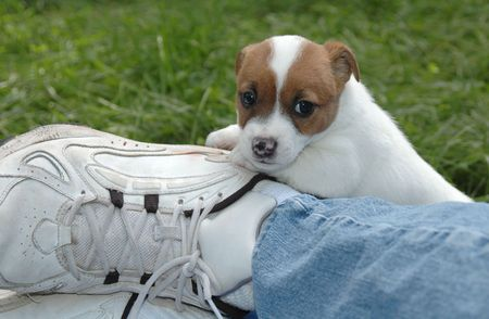 Jack Russell Puppy climbing on dads leg