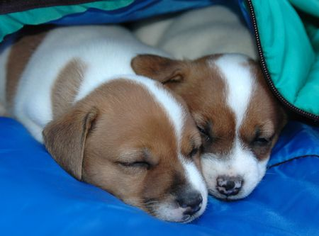 Jack Russell Puppies Sleeping Together In Their Bed Imagens