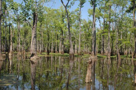 marsh plant: Louisiana bayou su una soleggiata giornata di primavera Archivio Fotografico