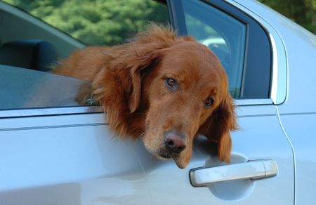 Sad eyed Golden Retreiver, hanging his head out a car window Imagens