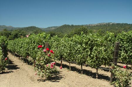 napa valley: Vineyard in Napa Valley, California, on a hot summer day