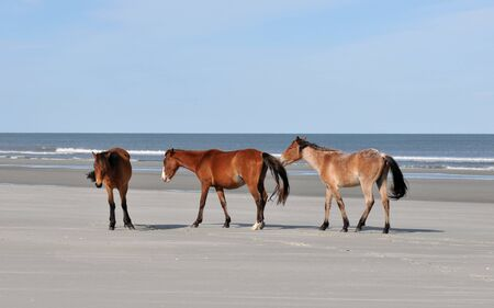 Wild horses on the beach at Cumberland Island, Georgia Imagens