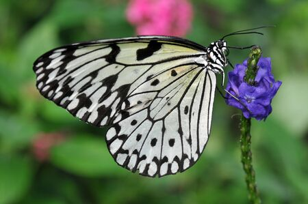 Delicate black and white Rice Paper butterfly on a purple flower Stock Photo - 9452662