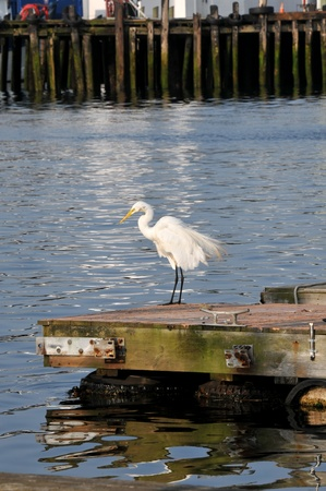 shaking out: A lone egret shaking out his feathers on the dock at Gloucester Harbor