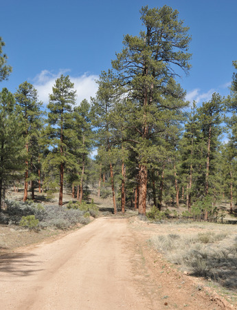 ponderosa: Ponderosa pines on the back road to the Grand Canyon