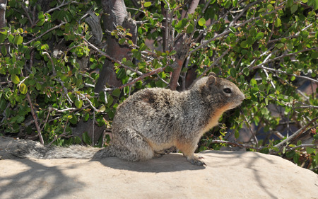 critter: Rock squirrel sitting on a wall at the Grand Canyon Stock Photo