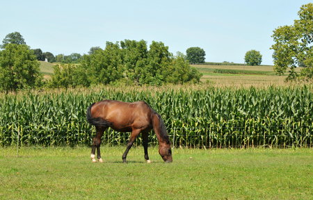 amish: Horse grazing in a field in the Amish Country near Lancaster, PA