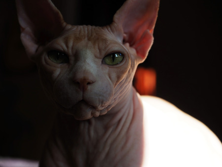 The beautiful natural delicious magnificent image of the Sphinx breed.