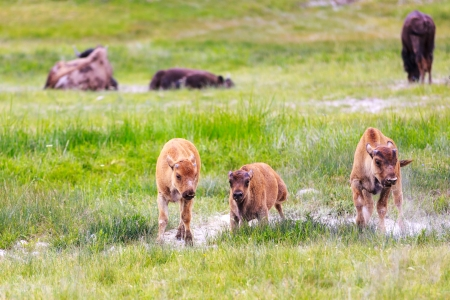 3 Bison calf walking towards you, exploring side by side   Some adult bison in the far , relaxing
