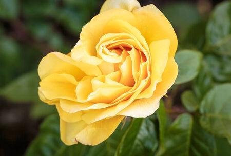 portland oregon: Fragrant Rose in Full Bloom. Washington Park Rose Garden, Portland, Oregon