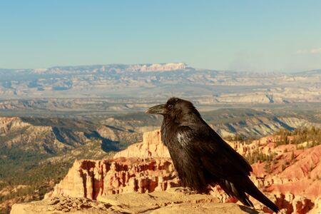unafraid: Common Raven (Corvus corax) perched on stone wall at Bryce Canyon National Park