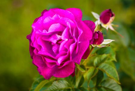 portland oregon: Fragrant Rose in Full Bloom  Washington Park Rose Garden, Portland, Oregon Stock Photo