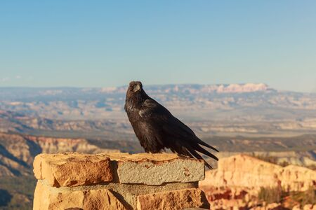 unafraid: Common Raven  Corvus corax  perched on stone wall at Bryce Canyon National Park