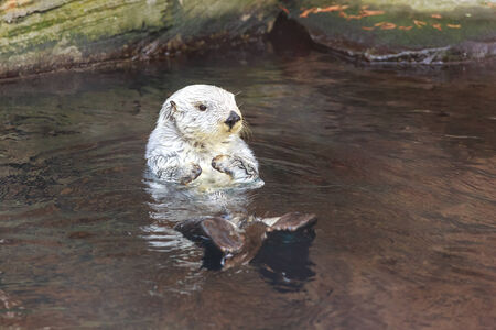 Close up shot of a sea otter Stock Photo