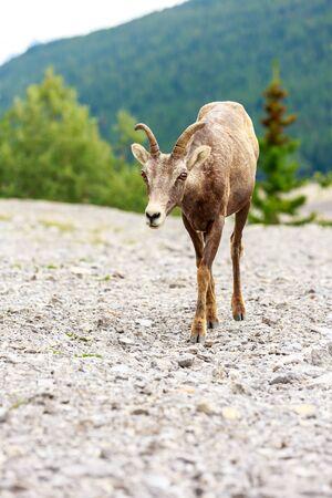 berggeit: Mountain Goat in Jasper National Park, Alberta, Canada