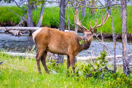 Male Elk wandering inside Yellowstone National Park