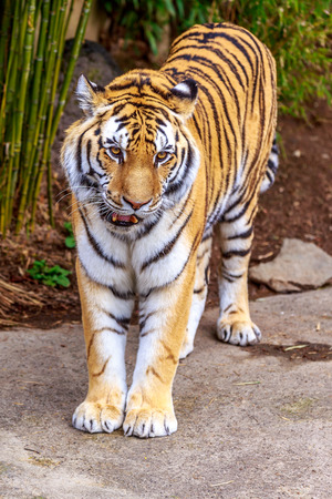 the amur: Close up of Amur Tiger (Panthera tigris altaica).