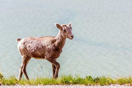 alberta: Mountain Goat in Jasper National Park, Alberta Canada Stock Photo