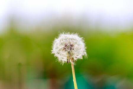 blown away: A dandelion ready to be blown away