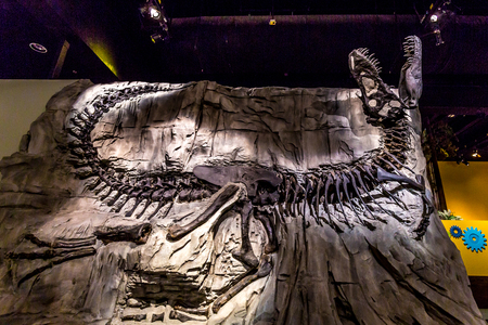 Drumheller, AB Canada - AUGUST 14, 2014: The famous T. Rx fossil T. Rex fossil, Black Beauty, is on exhibition in Royal Tyrrell Museum of Palaeontology.