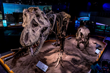 tyrant: Drumheller, AB Canada - AUGUST 14, 2014: Fossil of Dinosour is on exhibition in Royal Tyrrell Museum of Palaeontology.