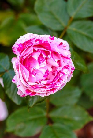 ornamental horticulture: Fragrant Rose in Full Blossom.