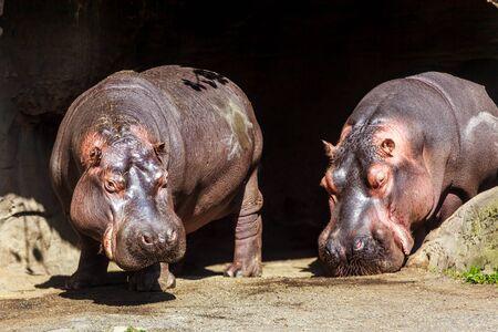 Deux hippopotames profitent du temps libre, sous le soleil. Banque d'images - 36311803
