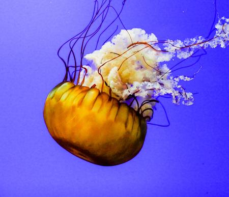 phylum: Jellyfish are marine invertebrates belonging to the Scyphozoan class, and in turn the phylum Cnidaria. Stock Photo