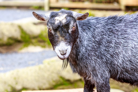 pygmy goat: Black pygmy goat looks into the camera. Stock Photo