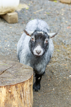 pygmy goat: Grey pygmy goat looks into the camera